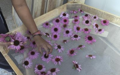 Les séchoires á plantes de SPAGYRIA